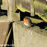 Big Garden Birdwatch - Robin
