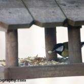 Big Garden Birdwatch - Great tit