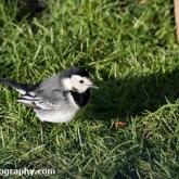 Big Garden Birdwatch - Pied wagtail