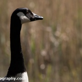 Potteric Carr - Canada Goose