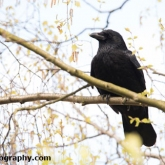Potteric Carr - Carrion Crow