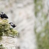 RSPB Bempton Cliffs - Puffin