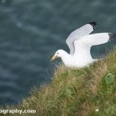 RSPB Bempton Cliffs - Kittiwake collecting nesting material