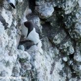 RSPB Bempton Cliffs - Guillemot with egg