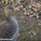 WWT Slimbridge - Greylag Goose