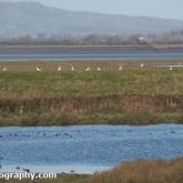 WWT Slimbridge -Bewick's Swan