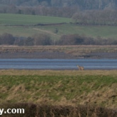 WWT Slimbridge - Roe Deer