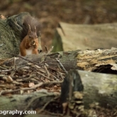 Brownsea Island - Red Squirrel