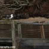 Brownsea Island - Great black-backed Gull