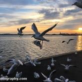 Poole Harbour - Black-headed Gulls