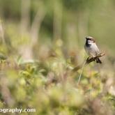 RSPB Lodmoor - House Sparrow
