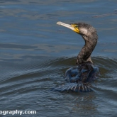 RSPB Lodmoor - Cormorant