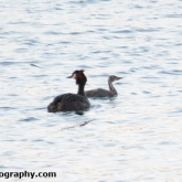 Day 6 - Whelford Pools Nature Reserve - Great Crested Grebe and chick