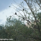Day 6 - Whelford Pools Nature Reserve - Cormorants in roost