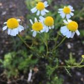 Day 8 - Plantlife Wild Flower Hunt - Oxeye Daisy