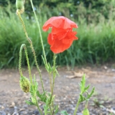 Day 8 - Plantlife Wild Flower Hunt - Common Poppy