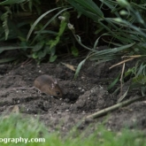 Day 9 - Wood Mouse