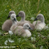 Day 10 - By Brook - Mute Swan Cygnets