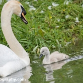 Day 10 - By Brook - Mute Swan and Cygnet