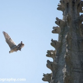 Day 17 - Peregrine Falcon - St John's RC Church, Bath