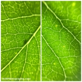 Day 28 - Leaf Veins