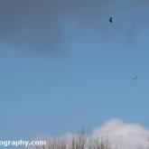 My Patch - Buzzards