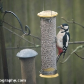 My Patch - Great spotted woodpecker