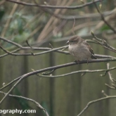 My Patch - House sparrow