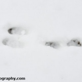 Hare snow tracks