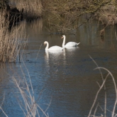 My Patch - Mute swans