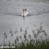Whelford Pools Nature Reserve - Mute Swans