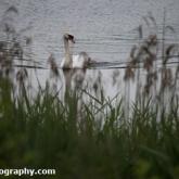 Whelford Pools Nature Reserve - Mute Swan and cygnet