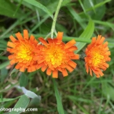 Lower Moor Farm Nature Reserve - Fox-and-cubs
