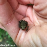 Lower Moor Farm Nature Reserve - Common froglet