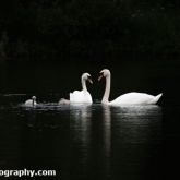 Lower Moor Farm Nature Reserve - Mute swans and two cygnets