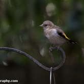 My Patch - Fledgling goldfinch