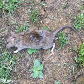 My Patch - Brown rat