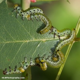 My Patch - Large Rose Sawfly (Arge pagana)