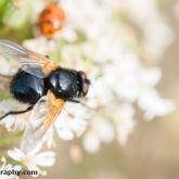 RSPB Ham Wall - Noon Fly (Mesembrina meridiana)