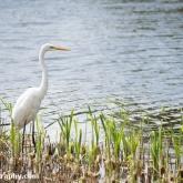 RSPB Ham Wall - Great White Egret