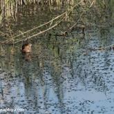 RSPB Ham Wall - Sparrowhawk