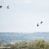 RSPB Ham Wall - Marsh Harrier
