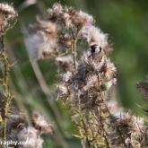 RSPB Ham Wall - Goldfinch
