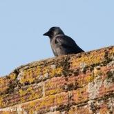 Jackdaw on chimney nest