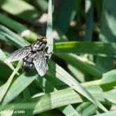 Flesh Fly (Sarcophaga carnaria)