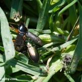 Pterostichus cupreus eating harpalus affinis?