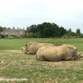 Rhino's at Cotswold Wildlife Park