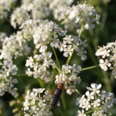 Day 4 - Wildflowers, natures little gems: Cow Parsley growing next to the hedgerow on my drive home tonight