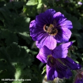 Day 6 - Bees and beekeeping: Followed this chap today in the garden. I think he's an early bumble bee