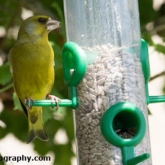 Day 7 - Sat in the garden watching the birds. First Greenfinch I've seen here on the feeders